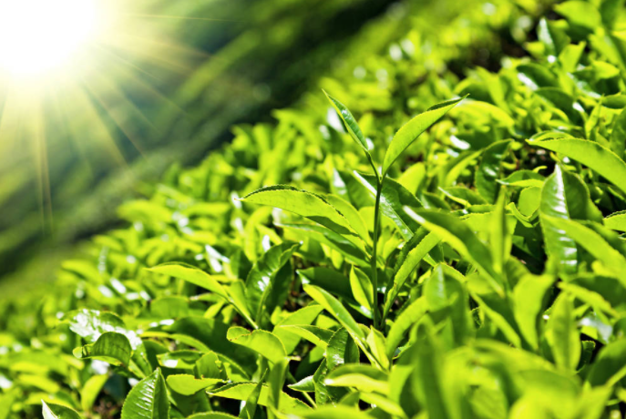 茶叶的税率是多少?2021茶叶税率介绍